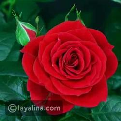 فيديو تفسير رؤية الورد في المنام وألوانها في الحلم!